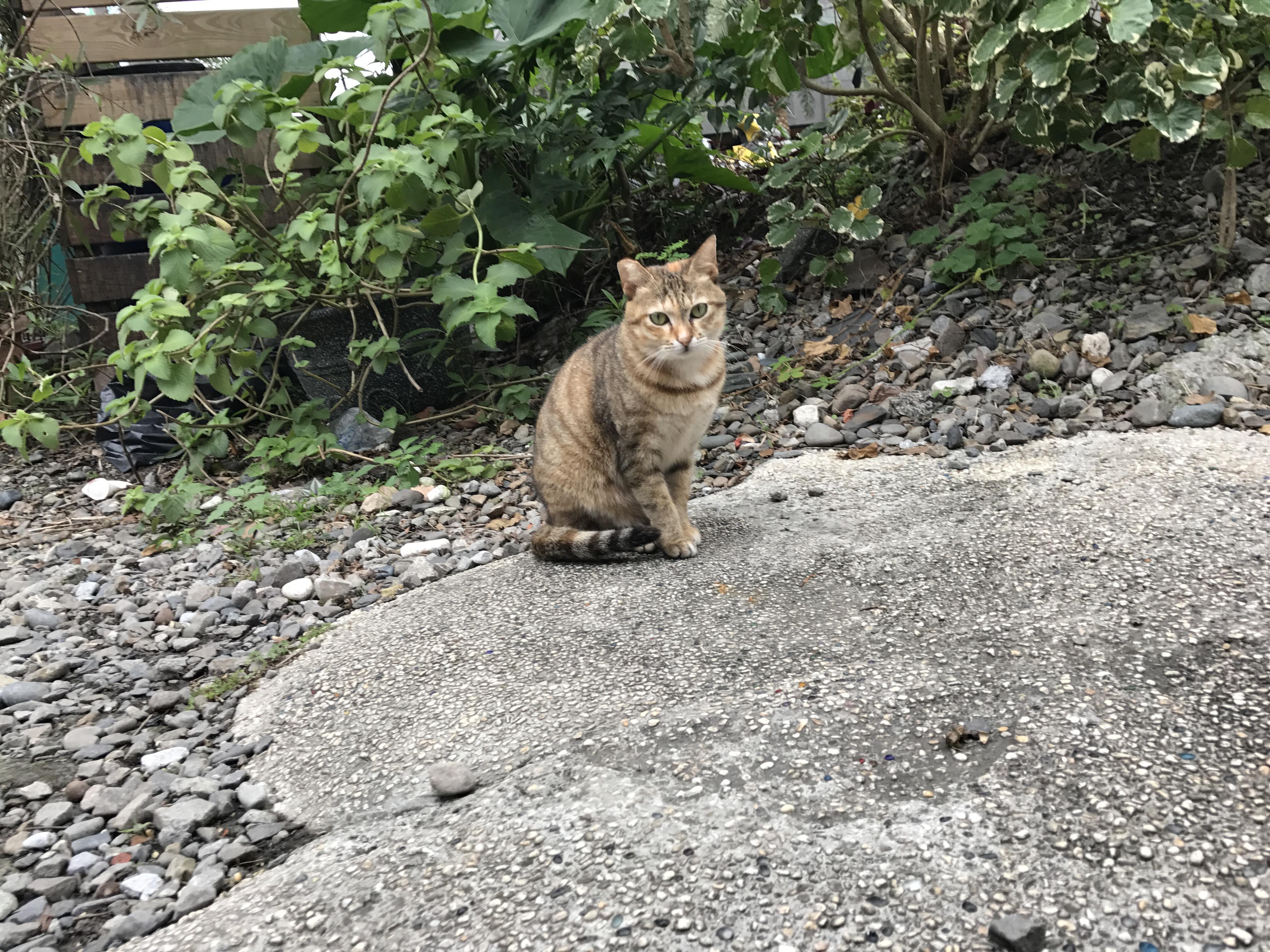 Taiwan Cat